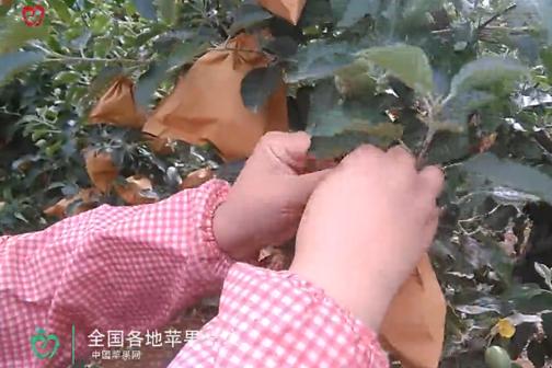 """苹果穿上保护衣—果园管理篇之""""套袋 ()"""