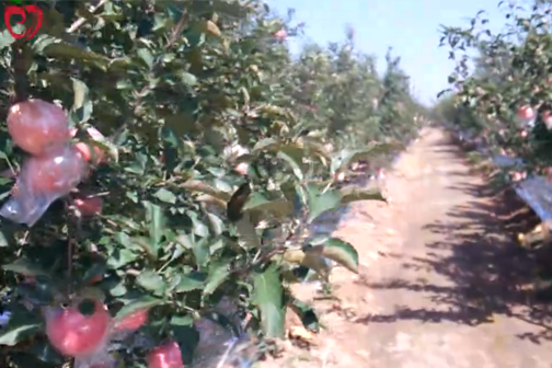 靓丽风景线-山西运城万亩苹果红 ()