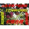 山东红富士苹果产地直销