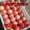 山东红富士苹果批发 大量现货果园采摘
