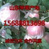 万亩红富士苹果现已开采 大量现货果园直销