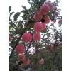 15091214235洛川红富士苹果