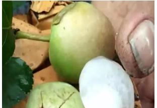 山东烟台:苹果受冰雹灾害面积达16余万亩 ()
