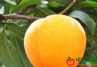 贵州玉屏:上千吨黄桃丰收上市 ()