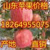 18264955075山东万亩美八苹果大量上市