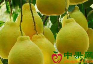 海南澄迈:无籽蜜柚采摘节…