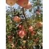 自家果园有4万左右斤红将军苹果出售
