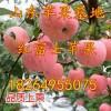 18264955075山东红富士苹果上市