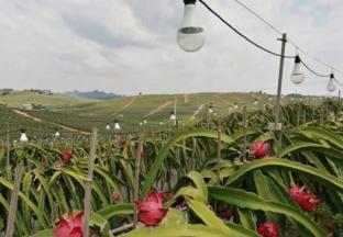 广西水果产业发展迅速 ()