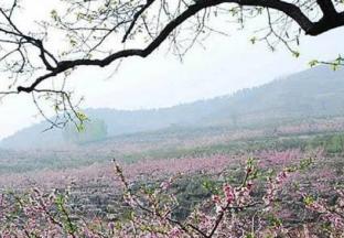 山东沂源:打通桃木产业全…