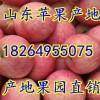 18264955075山东红富士苹果大量上市