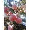 陕西高山红富士苹果基地价格