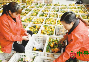 重庆巫山: 小水果做成大产业 ()