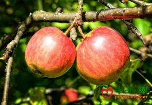 前八个月新西兰苹果对华出口同比翻倍 ()