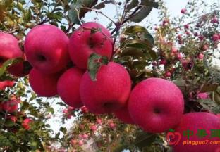 陕西志丹:苹果产业发展迅速 ()