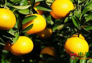浙江庆元:甜桔柚市场热销 ()