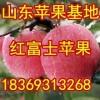 18369313268山东冷库苹果现已大量出库