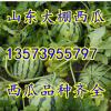 13573955797山东大棚京欣甜王西瓜大量上市