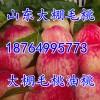 18764995773山东陆地油桃水蜜桃大量上市
