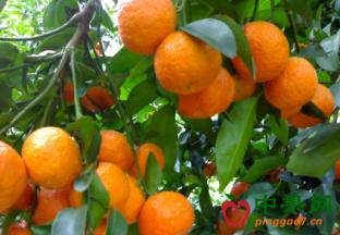 美议员欲立法阻止进口中国柑橘 ()