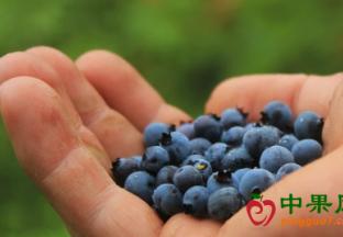 美国蓝莓抢占中国市场金九银十空档期 ()